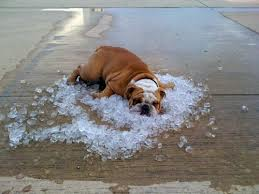 photo of dog cooling off in ice